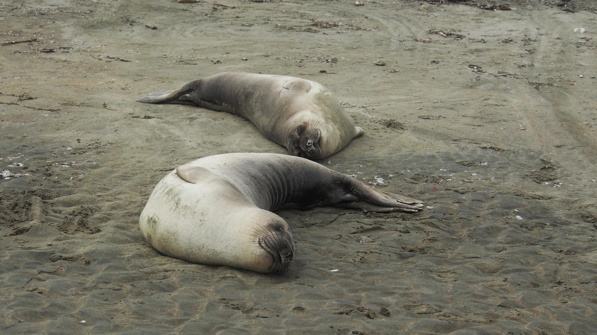 Seals on Drakes Beach, California