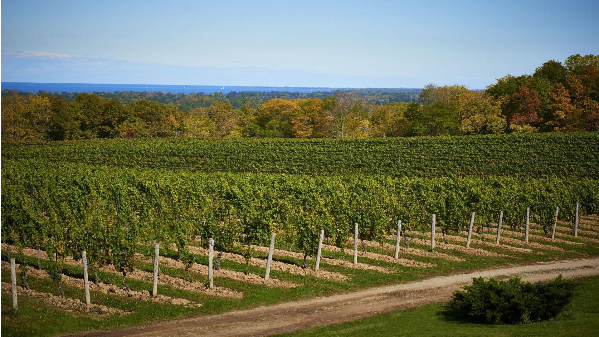 Ontario vacations | a vineyard in Niagara