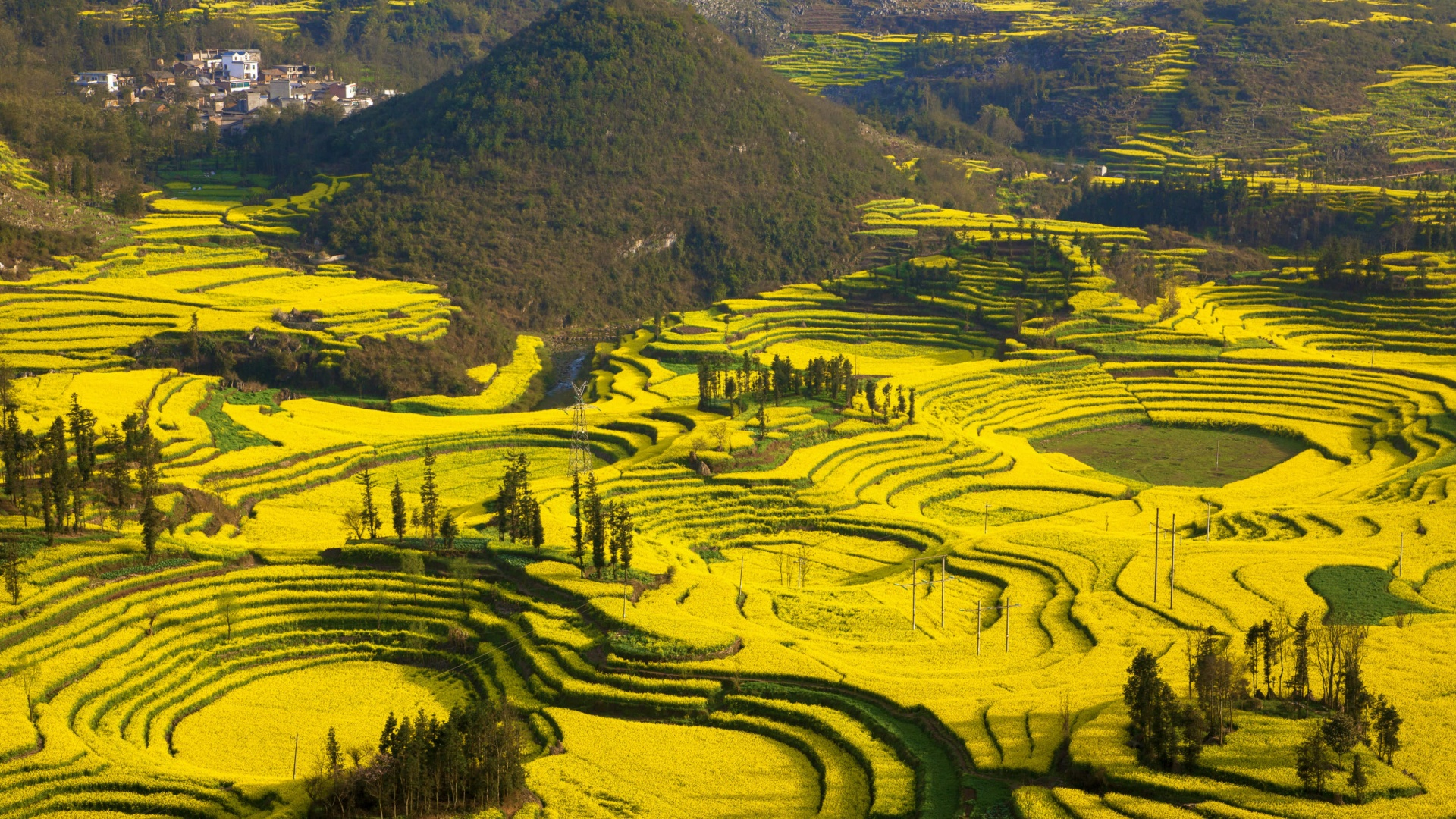 canola fields Yunnan, China