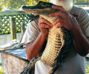 Florida-alligator-adventure