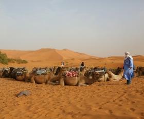 Trekking through the Sahara Desert by camel