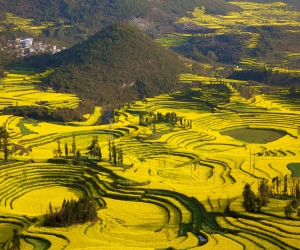 canola fields Yunnan, China