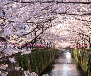 Hot Shots: Cherry Blossoms in Japan